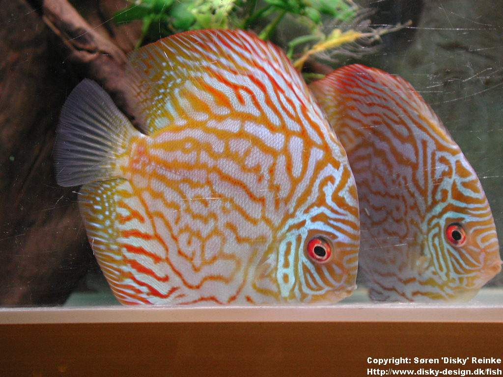 The discus fish symphosodon for Keeping discus fish